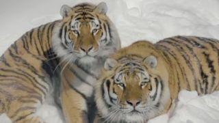 Дрон снимает уссурийских тигров