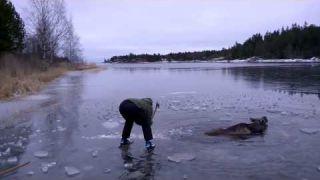 Спасиение Лося в зимней реке